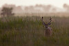 White-tailed Deer (Kissimmee Prairie Preserve)