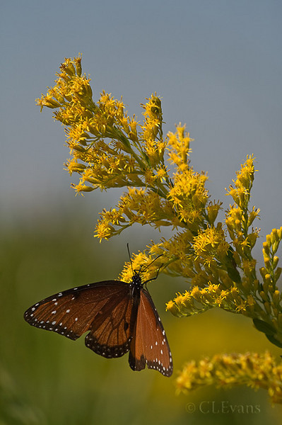 A Queen Butterfly nectaring on Goldenrod (Solidago spp.) (Kissimmee Prairie Preserve)