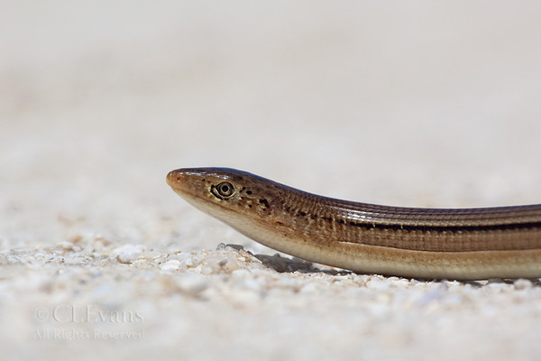 """Eastern Glass Lizard (Kissimmee Prairie)<br /> <br /> Though it resembles a snake, this is actually a legless lizard.  Unlike snakes, they have eyelids, external ear openings, and the jaw is not flexible like a snake.  The name """"glass lizard"""" is supposedly because they can """"shatter"""" their tails in pieces when trying to escape a predator."""