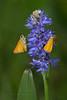 Two Delaware Skipper Butterflies on Pickerelweed (Kissimmee Prairie Preserve)