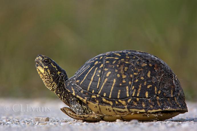 Florida Box Turtle (Terrapene carolina bauri) (Kissimmee Prairie Preserve)
