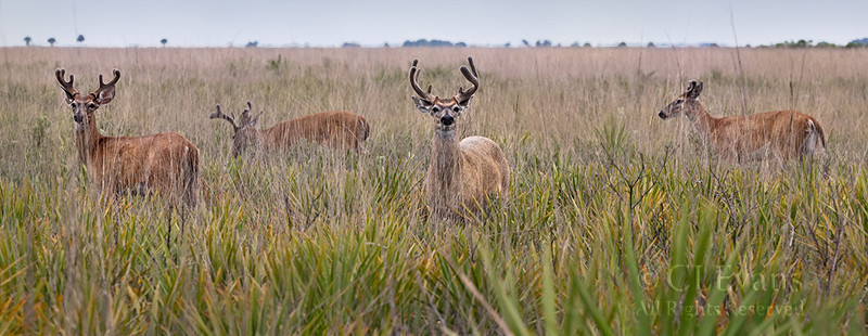 White-tailed Deer -- the boy's club (Kissimmee Prairie Preserve)