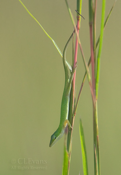 "Green Anole hunting from grass stalk (Kissimmee Prairie Preserve)<br /> This is a crop from a vertical pano format -- see here:    <a href=""http://cgstudios.smugmug.com/Nature/Kissimmee-Prairie-Preserve/3719808_X5CHj#641648486_gX8xx-A-LB"">http://cgstudios.smugmug.com/Nature/Kissimmee-Prairie-Preserve/3719808_X5CHj#641648486_gX8xx-A-LB</a>"