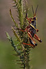 Eastern Lubber Grasshopper Nymph, Near Adult (Kissimmee Prairie Preserve)
