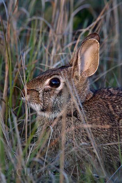 Eastern Cottontail rabbit (Sylvilagus floridanus) (Kissimmee Prairie)