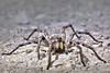 Carolina Wolf Spider, (Hogna carolinensis), front view, (Kissimmee Prairie Preserve)