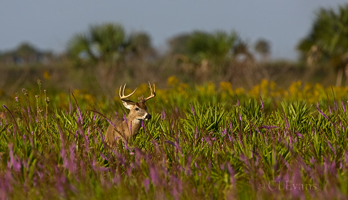 White-tail buck amidst wildflowers (Liatris, Goldenrods) and palmettos on Kissimmee Prairie.