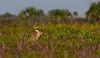White-tail buck amidst wildflowers (Liatris, Goldenrods) and palmettos on Kissimmee Prairie.