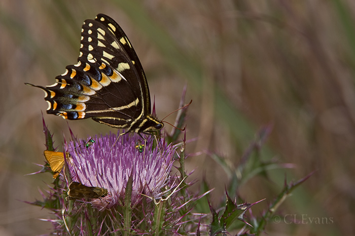 Palamedes Butterfly, skippers, and halictid bees on Horrible Thistle (Cirsium Horridulum) (Kissimmee Prairie Preserve)<br /> <br /> It is obvious that nectaring insects do not find this thistle horrible at all.