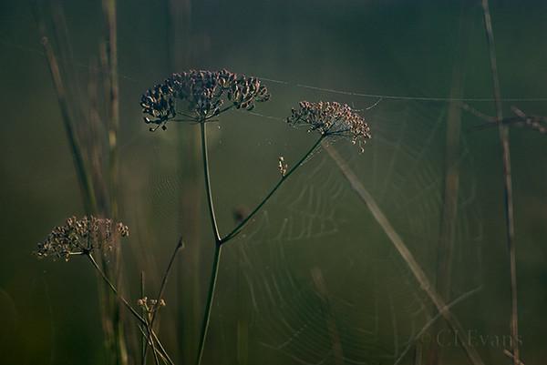 Mock Bishop's Weed, spider webs