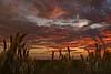 Sunset on Kissimmee Prairie, Bushy Bluestem (Andropogon glomeratus) in the foreground.