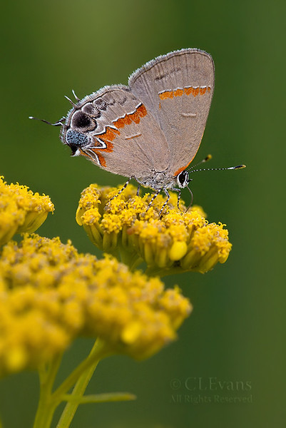Red-banded Hairstreak on Yellowtop (Kissimmee Prairie)