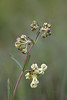 Largeflower Milkweed (Asclepias connivens) (Kissimmee Prairie)