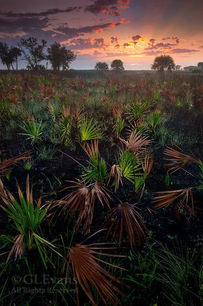 Sunrise looking across recent burn/palmettos (Kissimmee Prairie Preserve)