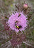 Horrible Thistle (Cirsium horridulum) with a variety of nectaring Hymenoptera species (Kissimmee Prairie)
