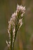 Bushy Bluestem (Andropogon glomeratus) (Kissimmee Prairie)