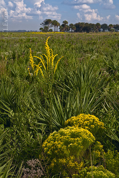 Goldenrod (Euthamia caroliniana and Solidago spp.) blooming at Kissimmee Prairie Preserve State Park