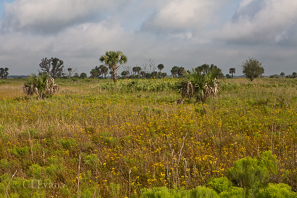 Blooming Flat-topped Goldenrod (Euthamia caroliniana) and Sabal Palms at Kissimmee Prairie Preserve State Park
