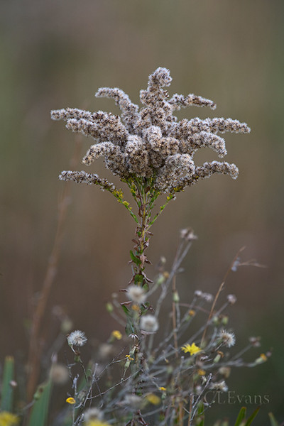Goldenrod flower gone to seed (Kissimmee Prairie Preserve)