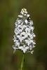 Snowy Orchid or Bog Torch (Kissimmee Prairie)