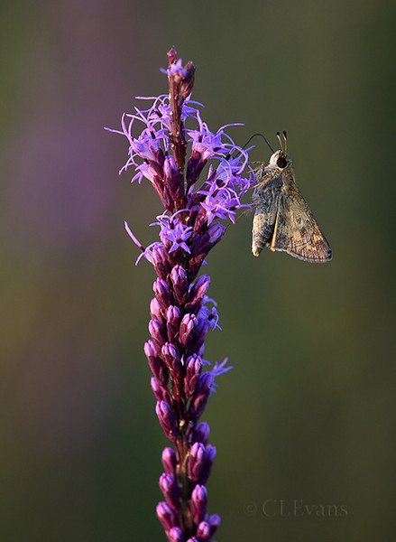 Sachem (skipper) on Blazing Star (Liatris tenufolia) (KPPSP)