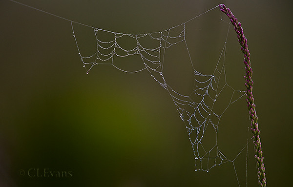 Dew-covered spider web attached to Liatris gracilis (Blazing Star) (Kissimmee Prairie Preserve State Park)