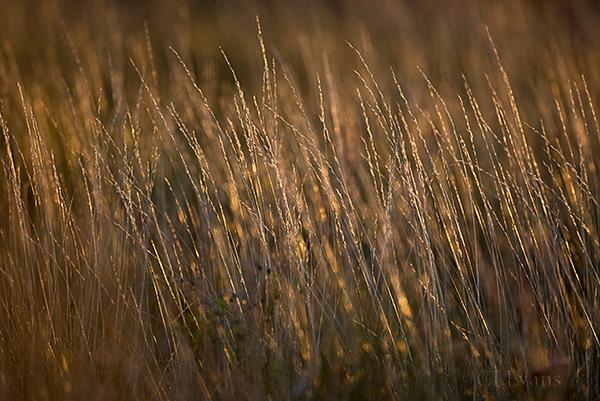 Wiregrass at sunset (Kissimmee Prairie)