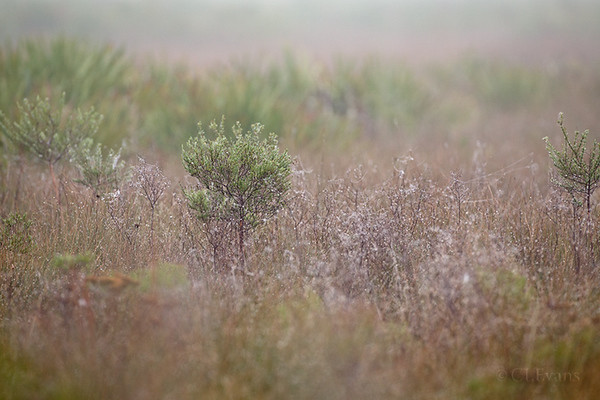 Foggy morning on the prairie (Kissimmee Prairie Preserve)
