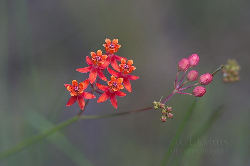 Red Milkweed - Asclepias lanceolata (Kissimmee Prairie Preserve)