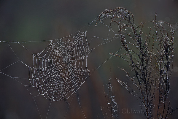 Spider Web with Dew Drops (Kissimmee Prairie Preserve)