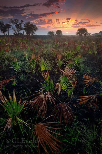 Sunrise looking across recent burn/palmettos (Kissimmee Prairie Preserve)