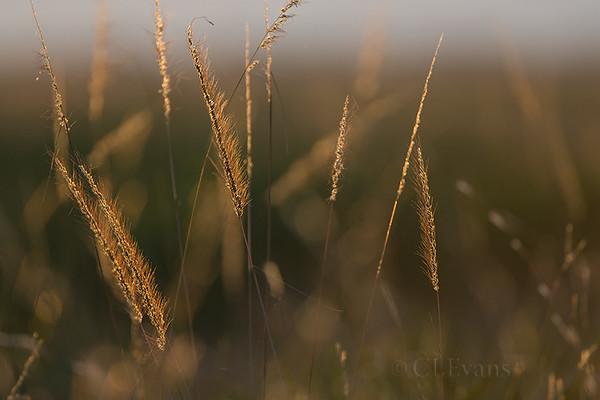 Golden grass on the prairie (KPPSP)