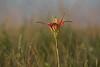 Pine Lily (Kissimmee Prairie)