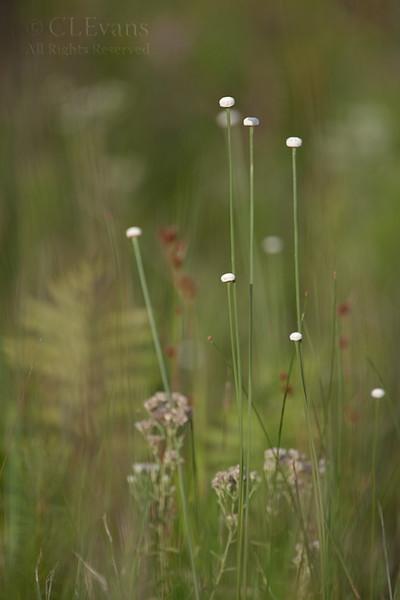 Pipewort (Eriocaulon decangulare), (Kissimmee Prairie Preserve)