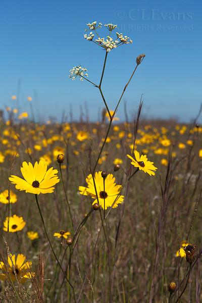Coreopsis floridana (Kissimmee Prairie Preserve)