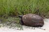 Gopher Tortoise (Kissimmee Prairie Preserve)