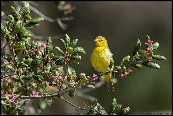Western Tanager during a tasty bug hunting session.