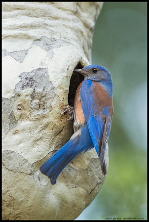 Father Bluebird checking on the remaining chicks in the nest as one has already fledged.