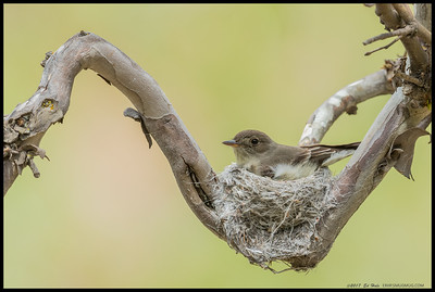 Western Wood-Pewee chose an interesting spot for its nest.  I've watched over the last two weeks as it put a foundation in place and made many trips to gather the material for the nest.  From a higher vantage I could see two eggs in the nest.
