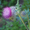 Edible thistle (Cirsium edule). Most thistles are edible, in fact, if you harvest the stalks young enough and peel the thorns off.