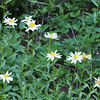 Olympic aster (Aster paucicapitatus). Endemic to the Olympic Mountains and the Vancounver Island Mountains.