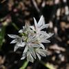 Olympic onion (Allium crenulatum).