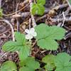 Dwarf bramble (Rubus lasiococcus).