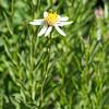 Olympic aster (Aster paucicapitatus).