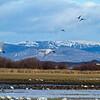 Arctic Swans