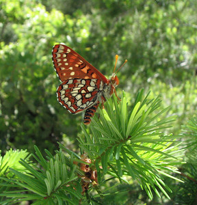 Butterfly in spruce tree next to Salmon River, CA