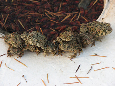 stack of western toads
