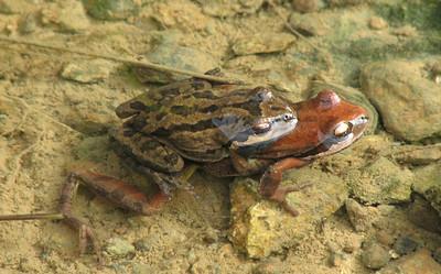 Pacific Treefrog Amplexious