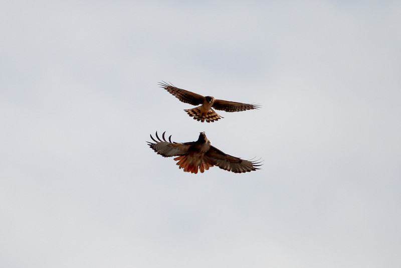 Northern Harrier harassing a Red-tailed Hawk