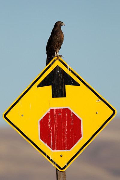 Sometimes finding birds is easy (Dark morph Red-tailed Hawk)